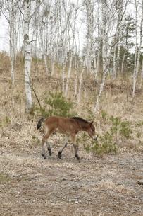 白樺林の木曽馬の仔馬の素材 [FYI00288228]