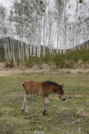 木曽馬の仔馬の素材 [FYI00288231]