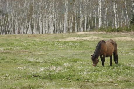 高原の木曽馬の素材 [FYI00288234]