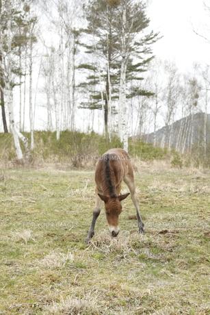 木曽馬の仔馬の素材 [FYI00288237]
