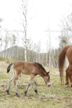 木曽馬の仔馬の素材 [FYI00288244]