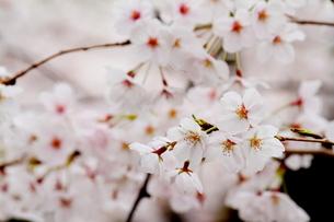 桜満開の写真素材 [FYI00288251]