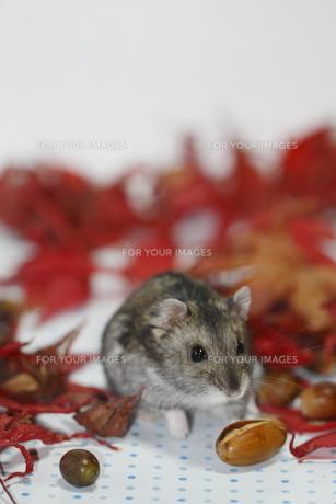 秋色の中のハムスターの写真素材 [FYI00288252]