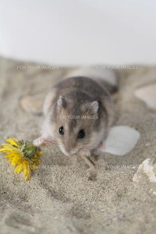 蒲公英と食べるハムスターの写真素材 [FYI00288256]