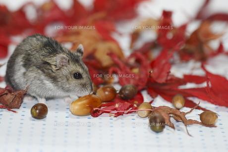 秋色のハムスターの写真素材 [FYI00288260]