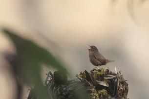 森のミソサザイの写真素材 [FYI00288266]