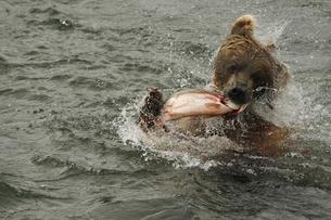 シャケを食うちぎるヒグマの写真素材 [FYI00288301]