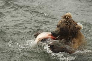 シャケを捕食するヒグマの写真素材 [FYI00288304]
