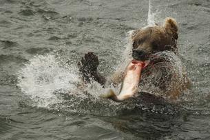 シャケを捕えたアラスカヒグマの写真素材 [FYI00288314]