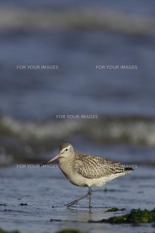 海岸を歩くシギの写真素材 [FYI00288322]