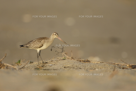 砂浜を歩くオオソリハシシギの素材 [FYI00288329]
