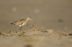 砂浜を歩くオオソリハシシギの写真素材 [FYI00288329]