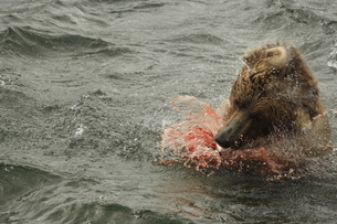 シャケを捕食するヒグマの素材 [FYI00288336]