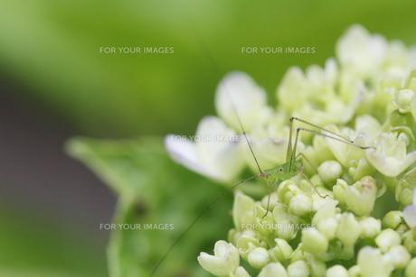 紫陽花とクツワムシの素材 [FYI00288338]