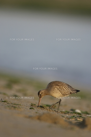 オオソリハシシギの採餌の素材 [FYI00288339]