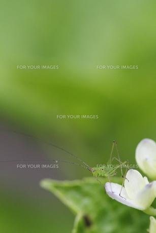 紫陽花と昆虫の素材 [FYI00288345]