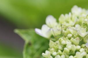 紫陽花とクツワムシの写真素材 [FYI00288346]