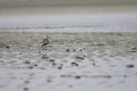 干潟を採餌するシギの素材 [FYI00288351]