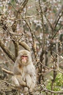 新芽を食べるニホンザルの写真素材 [FYI00288365]