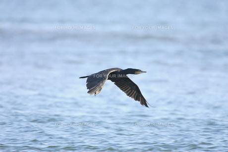 飛翔する鵜の写真素材 [FYI00288375]