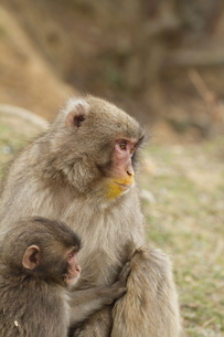 お猿の親子の素材 [FYI00288395]