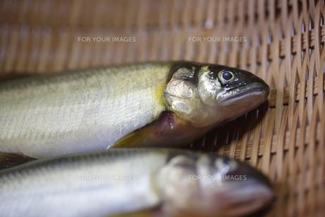 清流の魚 鮎の写真素材 [FYI00288423]