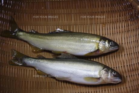 川魚 鮎の写真素材 [FYI00288425]