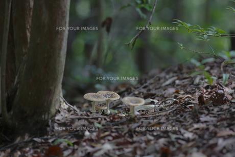 茸の森の素材 [FYI00288434]