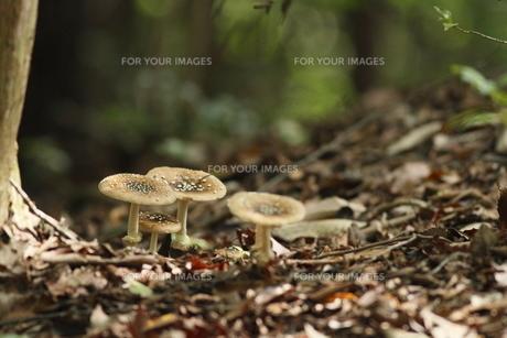 茸の森の素材 [FYI00288439]