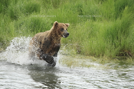 突進するアラスカヒグマの素材 [FYI00288488]