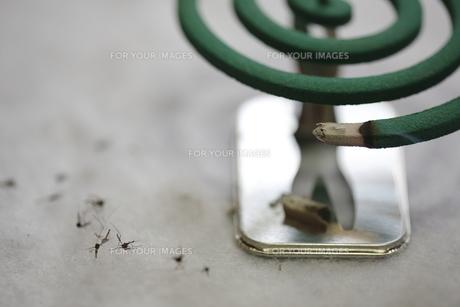蚊取り線香の写真素材 [FYI00288489]