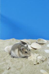 ハムスターと貝殻の写真素材 [FYI00288517]