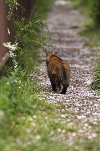 桜小道を歩く野良猫の写真素材 [FYI00288570]