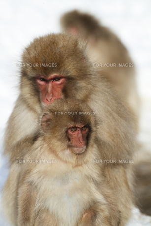 猿の親子の素材 [FYI00288576]