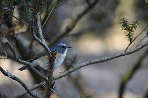 幸せの青い鳥の写真素材 [FYI00288578]