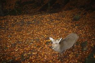 落ち葉のジュウタンを歩く鹿の素材 [FYI00288588]
