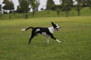 芝生を散歩する犬の写真素材 [FYI00288599]