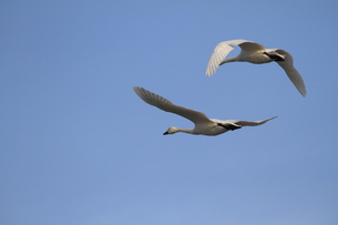 大空を舞う2羽の白鳥の素材 [FYI00288613]