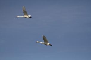 白鳥の素材 [FYI00288636]