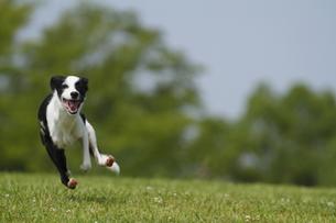 走る犬の写真素材 [FYI00288648]