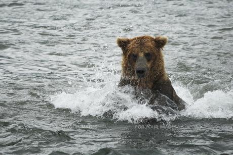 湖で泳ぐアラスカヒグマの素材 [FYI00288657]