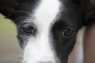 犬の瞳の写真素材 [FYI00288659]