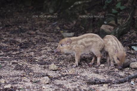 猪の子供 ウリ坊の素材 [FYI00288712]