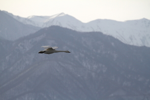 白鳥の飛翔の素材 [FYI00288729]