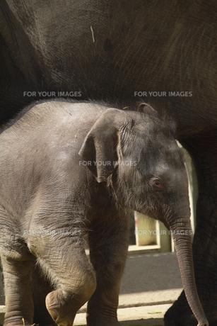 ゾウの赤ちゃんの素材 [FYI00288730]