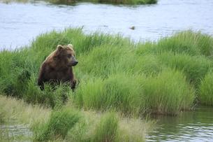 草原に潜むヒグマの写真素材 [FYI00288737]