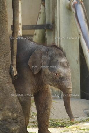 ゾウの赤ちゃんの素材 [FYI00288739]