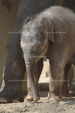 ゾウの赤ちゃんの素材 [FYI00288743]