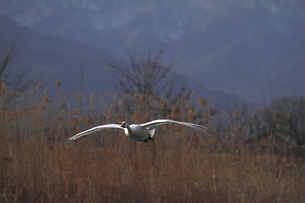 舞い降りる白鳥の素材 [FYI00288747]