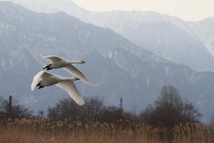 2羽の白鳥の写真素材 [FYI00288748]